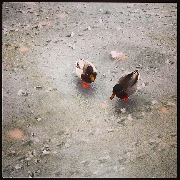 Searching for water #duck #neige #paris #snow